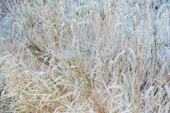 Roseaux secs couverts de gelée Photo stock