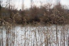 Roseaux secs dans l'horaire d'hiver Image libre de droits