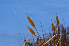 Roseaux sur la rivière en hiver Photographie stock libre de droits