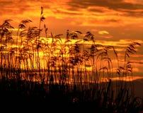 Roseaux sur le coucher du soleil photographie stock libre de droits
