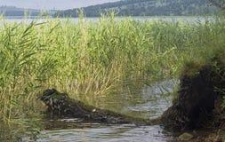 Roseaux sur le lac images stock