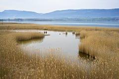 Roseaux sur un lac en Suisse Photographie stock