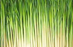 Roseaux verts Image stock