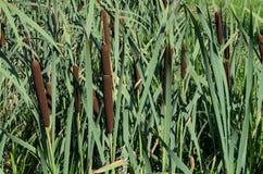 Roseaux verts Photo libre de droits