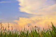 Roseaux verts contre le ciel Images stock