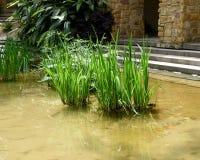 Roseaux verts dans la piscine à l'extérieur du bâtiment Photos libres de droits