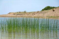 Roseaux verts dans les eaux de lac Images libres de droits