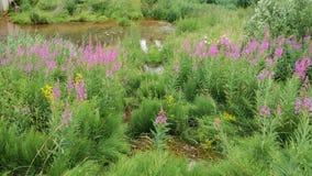 Rosebay柳草在池塘的岸增长 杨柳茶或伊冯茶的生产的原料在狂放 免版税库存图片