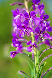 Rosebay willow-herb, Epilobium angustifolium Royalty Free Stock Photo
