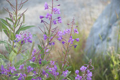 Rosebay Willow-herb Fireweed (Chamerion angustifolium) Royalty Free Stock Photo