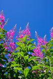 Rosebay Willowherb Stock Photography