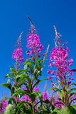 Rosebay Willowherb Stock Photo