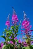 rosebay willowherb Στοκ Εικόνες