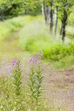 Rosebay willowherb Royalty Free Stock Photography