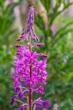 Rosebay Willowherb Chamerion angustifolium. Also known as fireweed.  grows on a river bank, Scotland landscapes, Summer times, United Kigdom royalty free stock photo