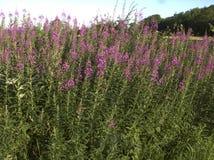 Rosebay willowherb, Epilobium angustifolium Royalty Free Stock Photo