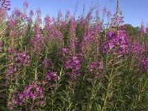 Rosebay willowherb, Epilobium angustifolium royalty free stock photos