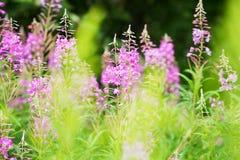Rosebay willowherb or fireweed closeup, violet, purple flower background. Nature. Rosebay willowherb or fireweed closeup, violet, purple flower background stock photography
