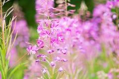 Rosebay willowherb or fireweed closeup, violet, purple flower background. Nature. Rosebay willowherb or fireweed closeup, violet, purple flower background royalty free stock photography