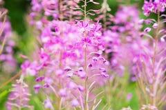 Rosebay willowherb or fireweed closeup, violet, purple flower background. Nature. Rosebay willowherb or fireweed closeup, violet, purple flower background royalty free stock photo