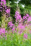 Rosebay willowherb or fireweed closeup, violet, purple flower background. Nature. Rosebay willowherb or fireweed closeup, violet, purple flower background stock images