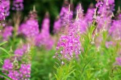 Rosebay willowherb or fireweed closeup, violet, purple flower background. Nature. Rosebay willowherb or fireweed closeup, violet, purple flower background royalty free stock photos