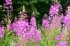 Rosebay willowherb or fireweed closeup, violet, purple flower background. Nature. Rosebay willowherb or fireweed closeup, violet, purple flower background stock image