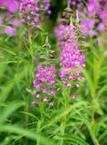 Rosebay willowherb or fireweed closeup, violet, purple flower background. Nature. Rosebay willowherb or fireweed closeup, violet, purple flower background royalty free stock image