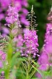 Rosebay willowherb or fireweed closeup, violet, purple flower background. Nature. Rosebay willowherb or fireweed closeup, violet, purple flower background stock photo