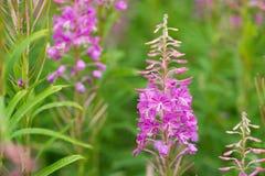 Rosebay willowherb or fireweed closeup, violet, purple flower background. Nature. Rosebay willowherb or fireweed closeup, violet, purple flower background stock photos