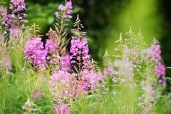 Rosebay willowherb or fireweed closeup, violet, purple flower background. Nature. Rosebay willowherb or fireweed closeup, violet, purple flower background royalty free stock images