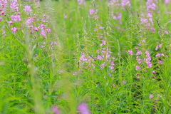 Rosebay willowherb or fireweed flowering plants summer floral background Stock Image