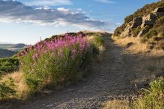 Rosebay Willowherb on the Glyn Mountain. Rosebay Willowherb near on the Glyn mountain near Trebanog with the coal tip named Old Smokey in the background above Royalty Free Stock Photography
