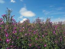 Rosebay Willowherb kwitnie przeciw niebieskiemu niebu Fotografia Stock