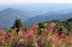 Rosebay willowherb lub fireweed, Chamaenerion angustifolium, kwitniemy na tle Bałkańskie góry, Bułgaria obrazy royalty free