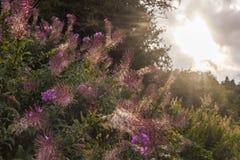 rosebay willowherb royaltyfria bilder