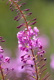 Rosebay willowherb a pink wildflower flowereing. Rosebay willowherb is a tall pink or purple wildflower which grows in unkempt and derelict places. Most would stock photography