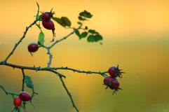 Roseberries Imagem de Stock