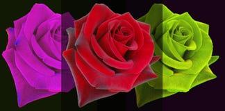 RoseBlackMagic Royaltyfri Bild