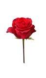 Roseblume Lizenzfreie Stockbilder
