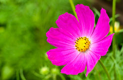 Rosebride Lizenzfreies Stockfoto