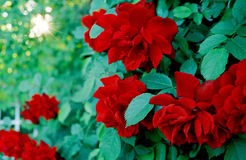 Rosebrush w ogródzie z czerwonymi kwiatami zdjęcie royalty free