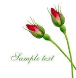 Rosebud. On a white background Royalty Free Stock Photography