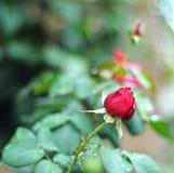Rosebud Royalty-vrije Stock Afbeelding
