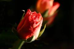 Rosebud Image stock