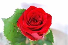 Rosebud Stock Foto's