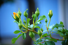 Rosebud Photo stock