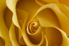 Rosebud. A close-up of a yellow rosebud Royalty Free Stock Photo