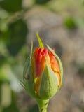 rosebud Royalty-vrije Stock Foto