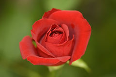 Rosebud. In a selective focus stock images